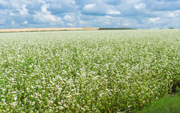 Field with blossoming buckwheat Royalty Free Stock Image