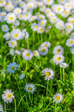 Field of blossoming daisies Royalty Free Stock Images