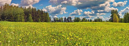Field of blossoming dandelion Royalty Free Stock Photography