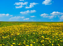 Field of blossoming dandelions Stock Image