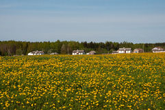 Field of blossoming dandelions Royalty Free Stock Images