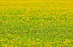 The field with the blossoming dandelions Royalty Free Stock Photo