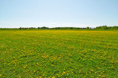 The field with the blossoming dandelions Stock Image