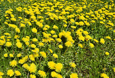 Field of blossoming dandelions at sunny day Royalty Free Stock Image