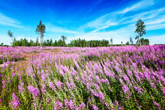 Field of blossoming fireweed against bright blue sky Royalty Free Stock Images