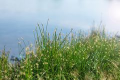 Field of blossoming grass close-up Royalty Free Stock Photos