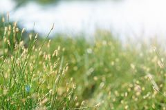 Field of blossoming grass close-up Stock Photography