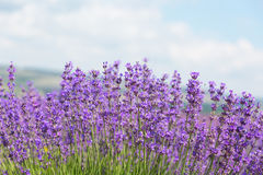 Field with the blossoming lavender. In the sunny summer day royalty free stock image