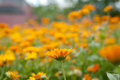 Field of blossoming marigold Stock Images