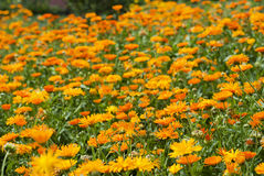Field of blossoming marigold Royalty Free Stock Photography