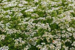 Field blossoming Orlaya daucoides. Stock Photo