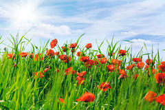 Field with the blossoming poppies Royalty Free Stock Images