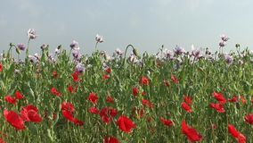 Field of blossoming poppy stock video