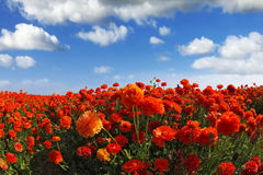The field of the blossoming red-orange flowers Royalty Free Stock Image