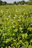 Field of the blossoming sowing campaign buckwheat in the Ukrainian village Royalty Free Stock Photo