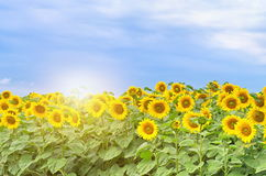 Field with blossoming sunflowers. On background sunrise Stock Photo