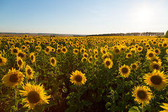 Field of blossoming sunflowers Royalty Free Stock Photography