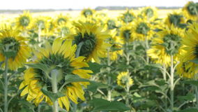 Field with the blossoming sunflowers stock video footage