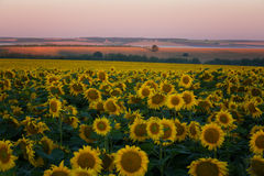 Field of the blossoming sunflowers. On a sunrise Royalty Free Stock Photo