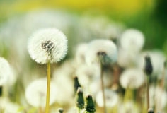 Field of blow-balls in the summer Royalty Free Stock Photos