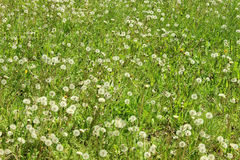 The field of blowballs. Meadow full of blowballs in spring day Royalty Free Stock Image