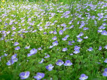Field of Blue. Blue Flowers Stock Photo
