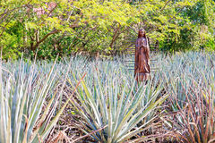 Field of blue agave Stock Photo