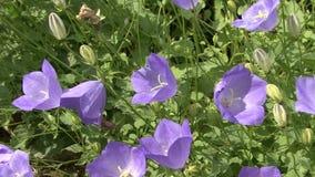 Field of blue bells in bright sunlight stock footage