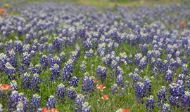 Field of Blue bonnets in the hill country of Texas royalty free stock photos