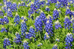 Field of Blue Bonnets Stock Photo