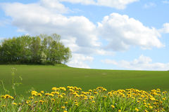 Field and blue cloudy sky. Dandelion field and blue cloudy sky royalty free stock image