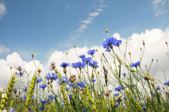 Field from blue cornflower Royalty Free Stock Image