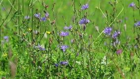 Field blue flowers stock footage