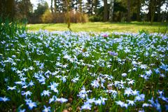 Field of blue flowers in blossom royalty free stock photography
