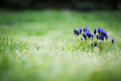 Field with blue grape hyacinths Royalty Free Stock Photos