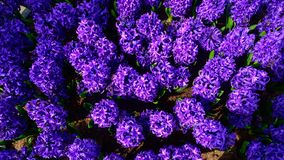 Field of  blue hyacinth in Holland , spring time colourful flowers. Field and blue hyacinth in Holland , spring time royalty free stock photography