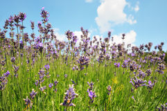 Field of blue lavender. And blue sky stock photography