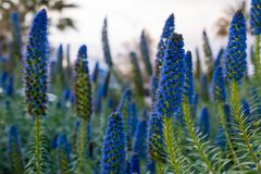 Field of blue lupin flowers at sunset Stock Image