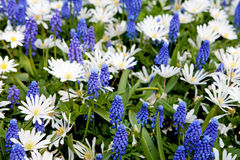 Field with blue Muscari botryoides and white Myosotis Royalty Free Stock Photography