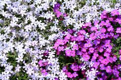 The field of blue and purple forget-me-not as background Stock Photo