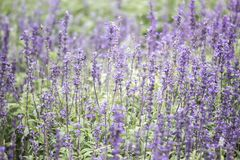 Field of Blue salvia flowers. selective focus stock photography