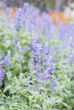 Field of Blue salvia flowers.selective focus stock photos