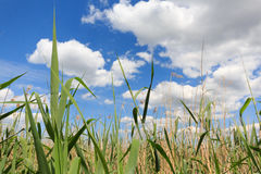 Field and blue sky, agriculture landscape background Stock Photography