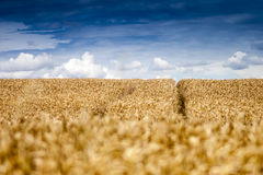 Field with Blue Sky and Clouds. Golden Wheat Field with Blue Sky and Clouds stock photography