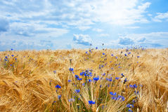 Field with blue sky and white clouds Royalty Free Stock Photo