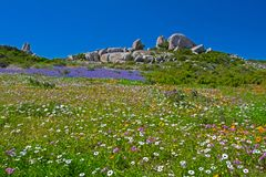 Field of blue, white, orange and purple wildflowers. Blue, white and orange spring wildflowers with granite rocks in West Coast National Park, South Africa Royalty Free Stock Photography