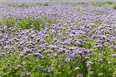 Field of bluebell - Phacelia tanacetifolia. Vieo of field with bluebell - Phacelia tanacetifolia Stock Photo