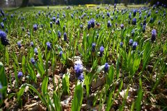 Field of bluebells royalty free stock photo