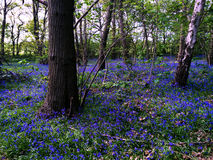 Field of bluebells in the forest in spring Stock Image