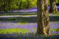 Bluebells in Cornwall. Field of bluebells near Penryn, in Cornwall Royalty Free Stock Photo